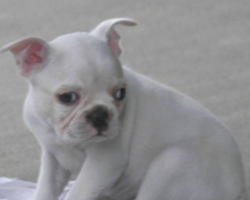 Cream Boston Terrier Puppy